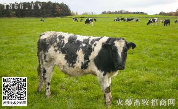 牛副结核病的病因有哪些?牛副结核病的治疗方