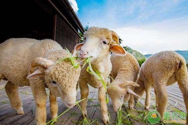 羊不进食的原因分析