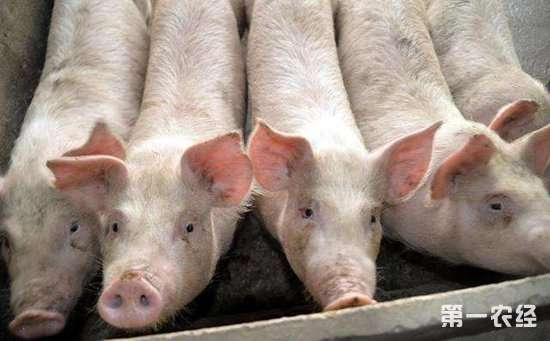 猪皮疹综合症的病因以及防治措施