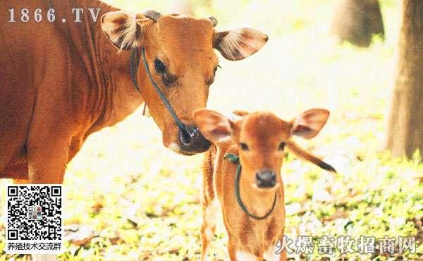 哺乳期犊牛的常见疾病是什么?如何治疗?