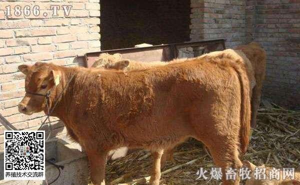 春季养牛喂什么?春季养牛注意事项!