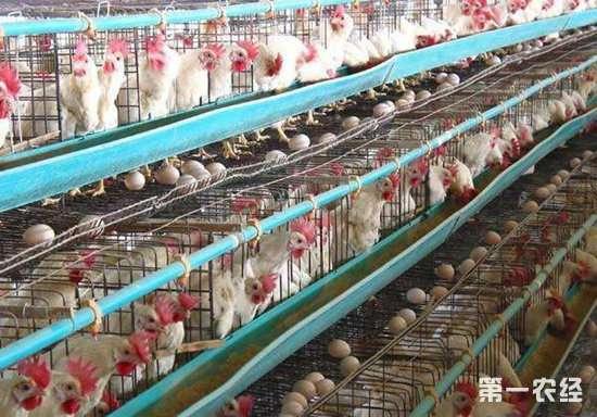 笼养蛋鸡疲劳症的原因以及防治措施