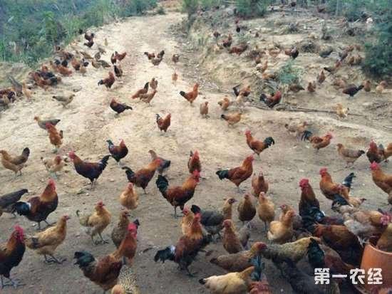 在农村搞生态散养鸡养殖,想要高效得注意哪些问题?