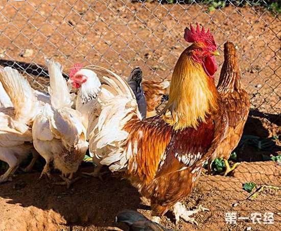 土鸡养殖想要高效率高收益,公鸡和母鸡配比很重要