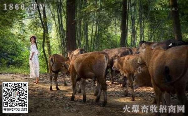 牛寒瘫病的症状是什么?牛寒瘫病的治疗方法?