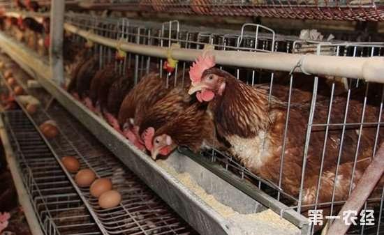 春季如何增加鸡蛋的产量?这几个方面要注意