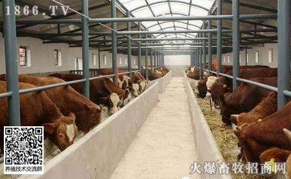 新手养牛应注意哪些问题,新手养牛技巧
