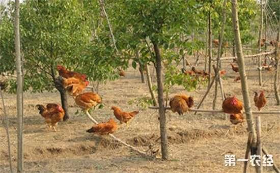 土鸡要怎么养?土鸡的四季养殖管理技术