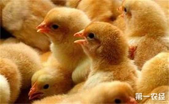 优质鸡苗该如何选择?注意以下四点