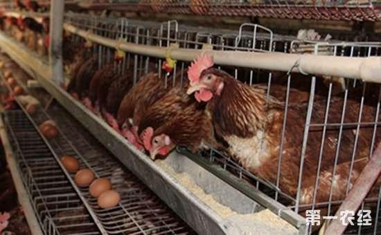 蛋鸡在各生长阶段需要哪些饲料?蛋鸡生长饲料配方介绍