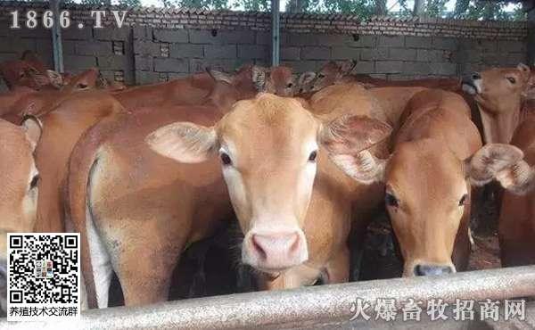 养牛只吃草行吗?常见牛病的防治