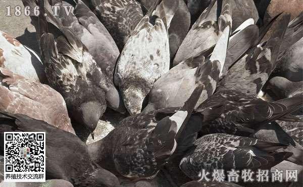 鸽子曲霉菌病的症状是什么?鸽子曲霉菌病防治措施?