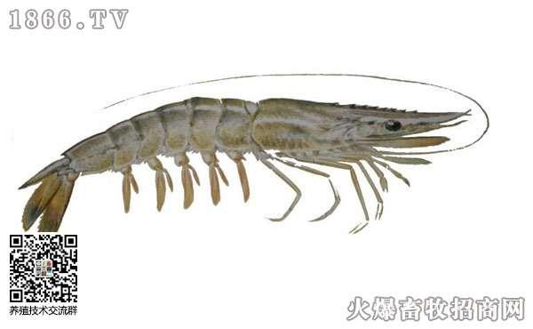 对虾白便症状是什么呢?对虾白便该怎么处理?