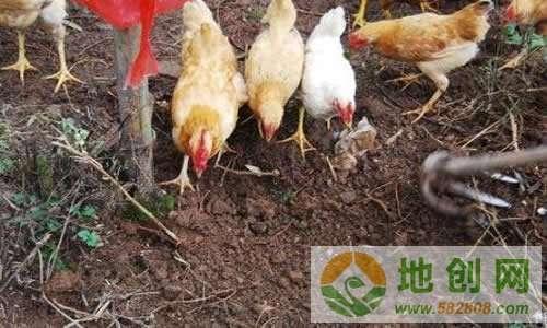 安徽亳州胡静静回家创业养土鸡致富 今年20多万收入腰包