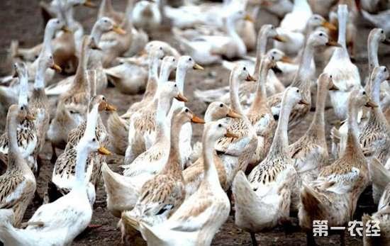 蛋鸭   第八,捉鸭、放鸭等动作要轻缓,要尽量减轻对它们的应激。 以上就是蛋鸭人工授精的注意事项,在对公鸭进行正式采精的时候要对公鸭进行采精训练,使公鸭对人工采精形成相应的条件反射,这样在后续的采精工作中才能顺利进行。想了解更多养殖技术,请关注猪友之家网。 (猪友之家整理)