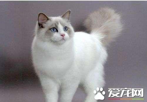 布偶猫一年生几窝  没想到布偶猫这么能生