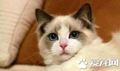布偶猫的毛会变色吗  布偶猫变色原来这么神奇