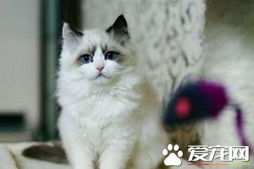 布偶猫眼屎多怎么回事 引起布偶猫眼屎多的三大原因