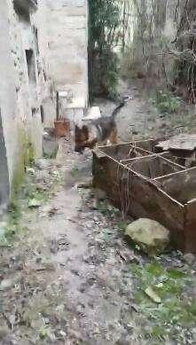 """2016年意大利地震中的""""英雄狗"""" 因涉嫌中毒致死"""