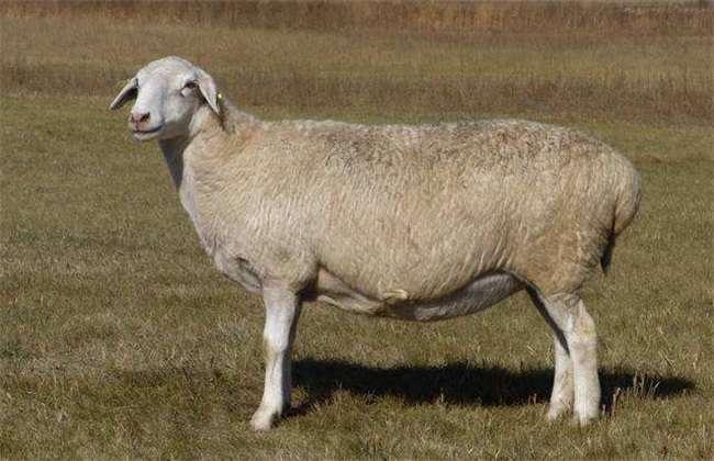 我们在养羊时一定要做好预防措施,流产时也要注意查明原因进行相对应