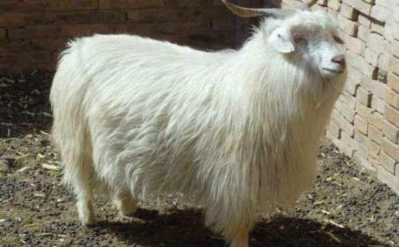 绒山羊养殖前景?养绒山羊还是养肉羊前景好?