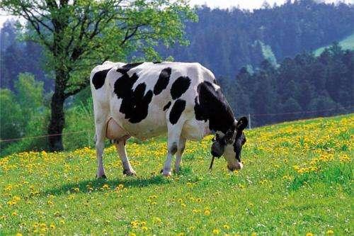 一头奶牛多少钱?奶牛养殖成本与利润分析?