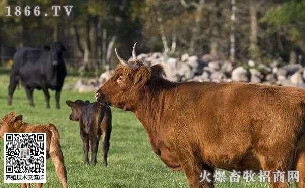 牛应该怎么喂?牛每天应该吃多少?