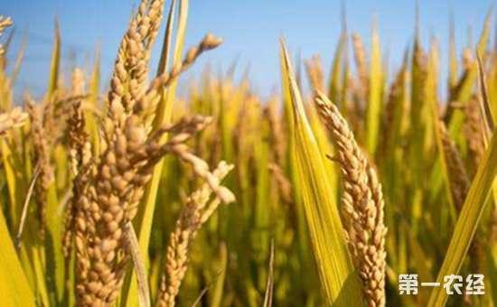 水稻收获矢量图