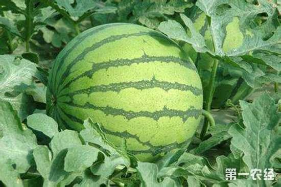 河南贾庄村:种西瓜一年净赚7万多块钱