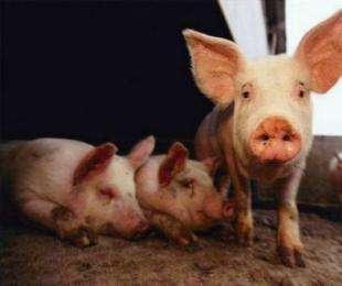 猪人工配种时要注意什么?猪人工配种时的注意事项