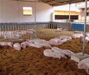 发酵床养猪要怎么养?发酵床养猪的技术