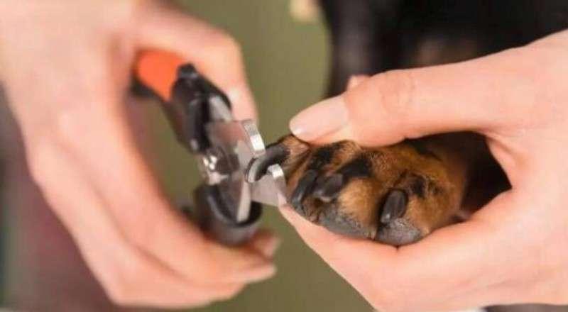 狗狗也需要剪指甲么?给狗狗剪指甲要注意什么?
