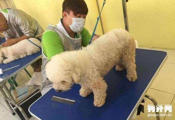 宠物美容师要学多久,什么时候才能开始工作