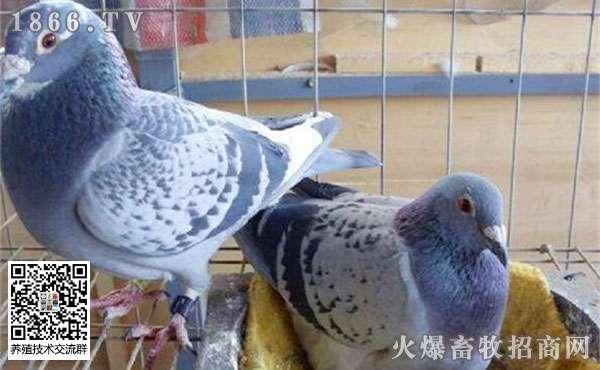 鸽子养殖的过程中存在哪些误区?