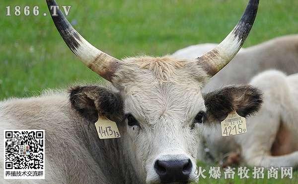 如何提高养牛技术?