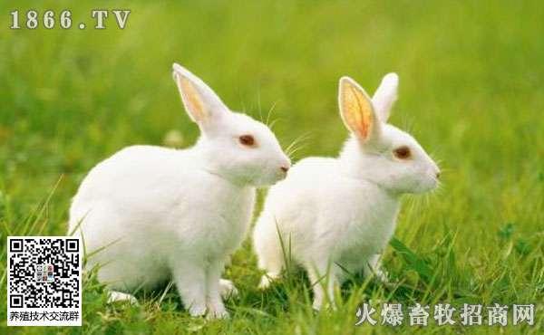 新手怎么辨别兔子怀孕?教你简单快速地方法!