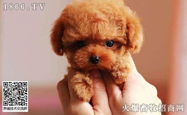 狗狗为什么不能吃巧克力?还有什么食物狗狗不能吃?
