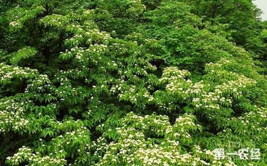 """生态护林员龚天池:把自己变成了第50001棵""""珙桐树"""""""