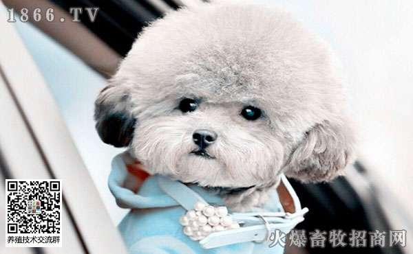 泰迪狗该怎么训练?