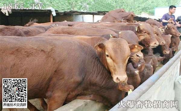 这些因素会影响到肉牛的饲料利用率