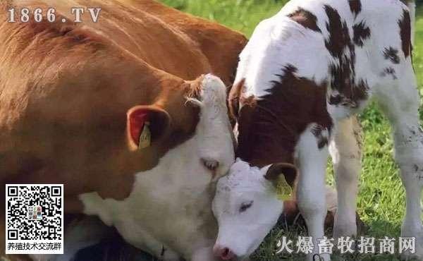 夏季养牛有哪些注意事项?三大要点需牢记!