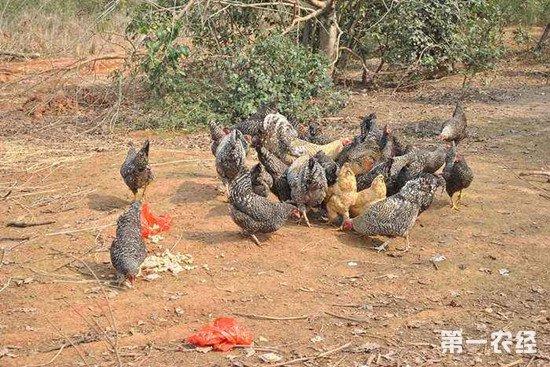 为什么鸡群会出现啄羽的情况?这些情况要注意防范