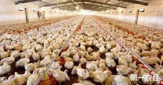 引发鸡群互啄的原因有哪些?如何防范这种情况