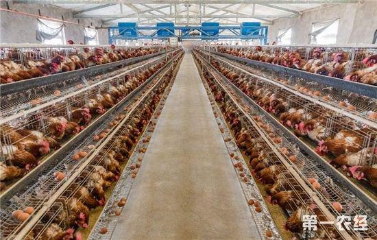 如何提高肉鸡养殖效率?肉鸡养殖中的这几个误区要避免