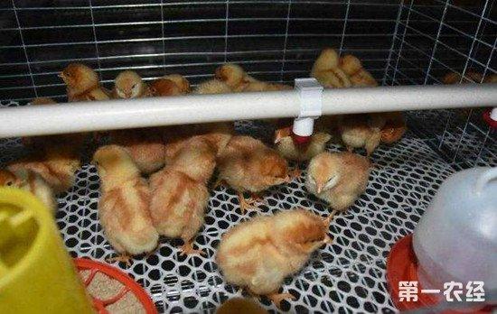雏鸡开食要做好哪些准备工作?雏鸡开食注意事项