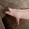 猪粮安天下,这猪该怎么安?