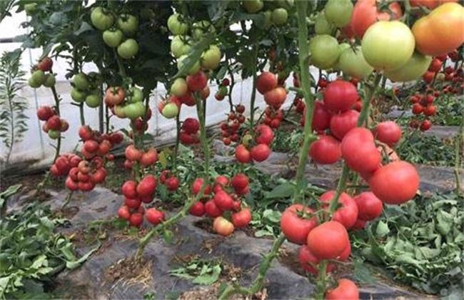 西红柿摘叶有哪些好处
