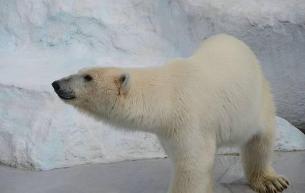 北极熊吃家属借呗不还会v家属到蚂蚁吗图片