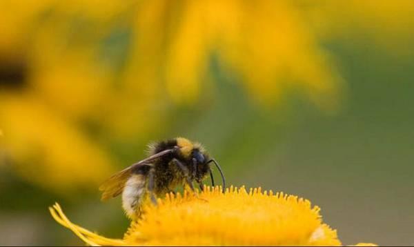 蜜蜂的动物是天敌买马老虎机图片