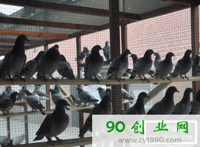 四个养鸽致富案例,跟养鸽大户学养鸽经验